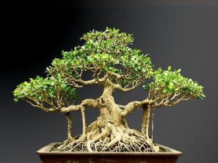 Cay Gua Bonsai